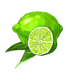 fruit lime Vector illustration  hand drawn  painted