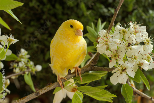 Canary on a branch of a flowering pear.