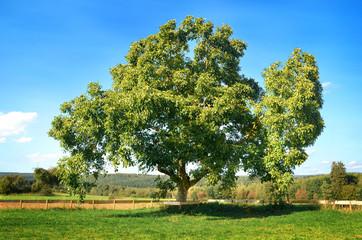Großer alter Walnussbaum – Juglans regia