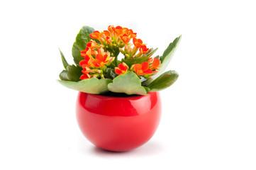 Piccola kalanchoe arancio nel vaso  rosso