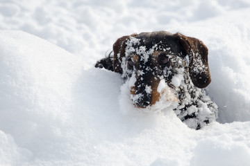 Wire haired dachshund during wintertime