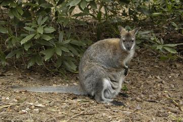 Wallaby, Red-necked (Macropus rufaqriseus)