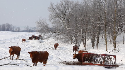 Cows in a snowy field in winter