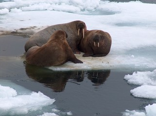Group of walrus