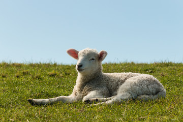 lamb resting on grass