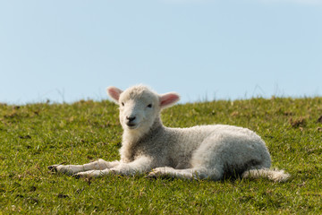 lamb lying on grass