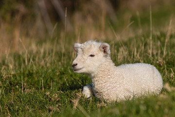 little lamb resting on grass