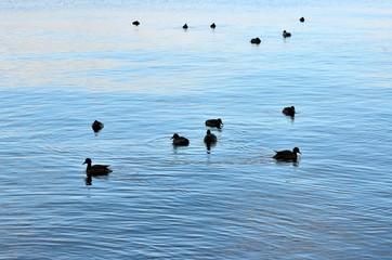琵琶湖の鳥
