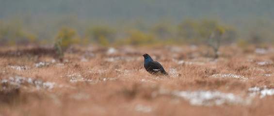 Black grouse in the bog