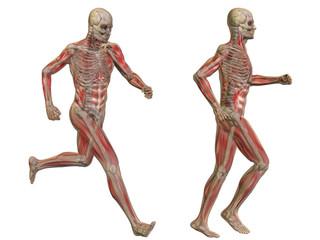 3D human man anatomy isolated