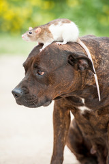 American staffordshire terrier with a rat sitting on its head