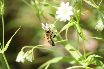 bee summer flower Apple