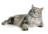 Fototapety maine coon cat