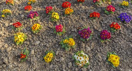Autumn planting primrose