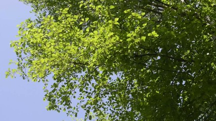 Birke im Frühling