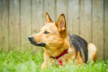 Schäferhund Mischling Portrait