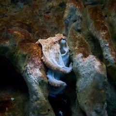 Sad octopus on the rocks deep under water.
