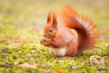 Red squirrel eating hazelnut in the park
