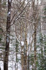 Tall trees with snow vertical