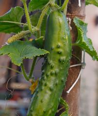 cultiver ses concombres et cornichons