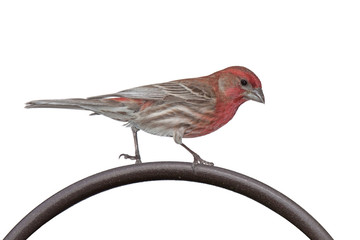 House Finch on a Metal Bar