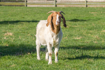Goat in a Meadow in the Fraser Valley