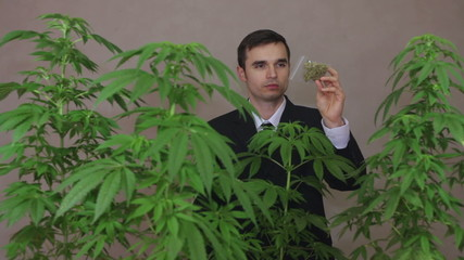 Businessman with Cannabis plants checking Marijuana product.