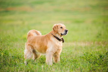 Labrador retriever, staying in front of grass background