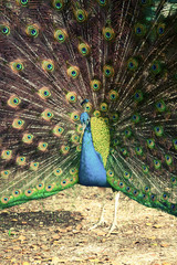 Peacock in tropical forest with feathers out, retro photo filter