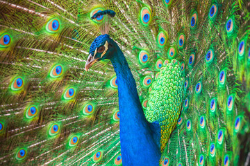 Closeup photo of wild Peacock with feathers out