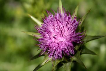 Mariendistel, Heilpflanze, Naturheilkunde