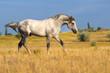 Beautiful grey trotter horse run at the morning