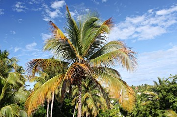View on Dominican palm forest