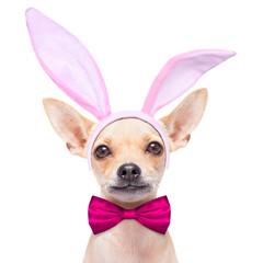 bunny ears dog