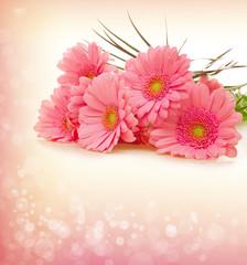 Pink Gerber  flowers .