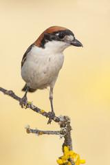 Shrike ( Lanius senator) perched on a branch