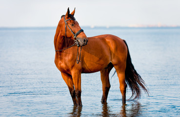 Bay horse standing water and looks