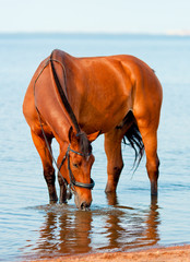 bay horse drinking water