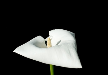 Single white calla flower isolated on black.