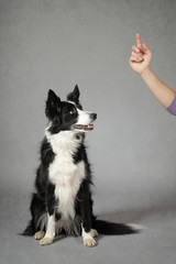 dressage chien border Collie