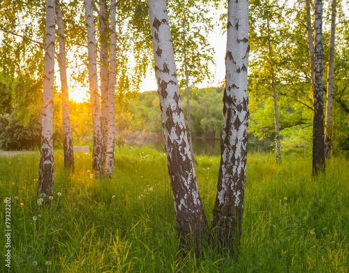 birch trees in a summer forest - 79322202