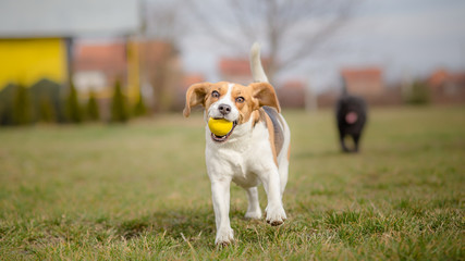 Dogs playing with ball - It's Springtime