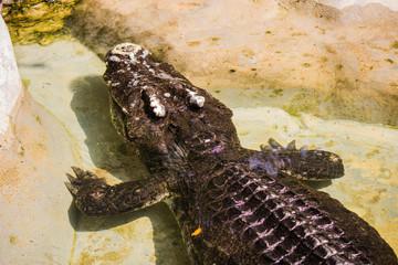 siam crocodile in Bangkok