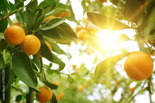 Leinwanddruck Bild Orange tree