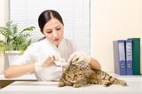 Veterinarian is dripping ear cat Scottish Straight