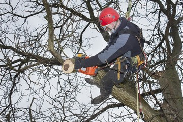 An arborist using a chainsaw to cut a walnut tree