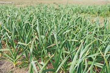 ニンニク畑、畑の風景