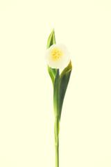 One tulip flower.