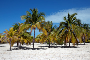 Palm trees on white sand, Cayo Largo del Sur - Cuba