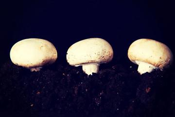 Three mashrooms in the ground.